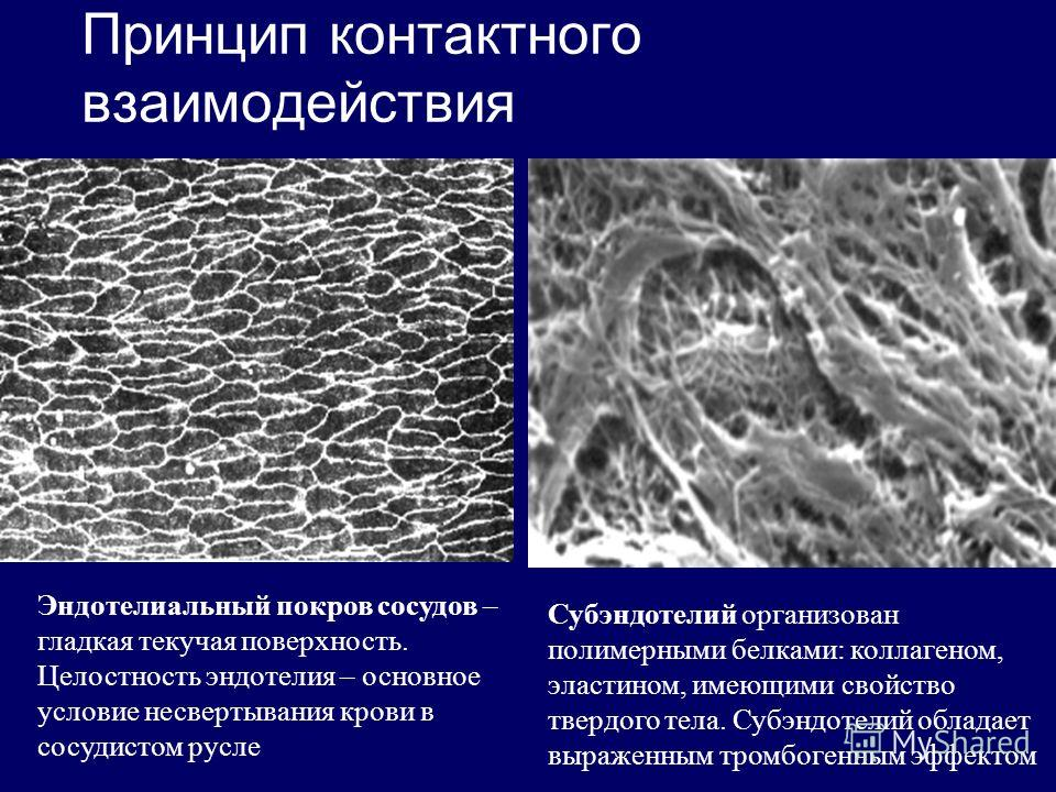 Принцип контактного взаимодействия Эндотелиальный покров сосудов – гладкая текучая поверхность. Целостность эндотелия – основное условие несвертывания крови в сосудистом русле Субэндотелий организован полимерными белками: коллагеном, эластином, имеющ