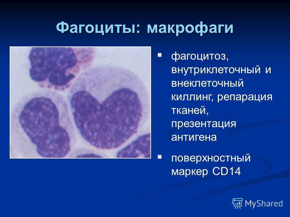 Фагоциты: макрофаги фагоцитоз, внутриклеточный и внеклеточный киллинг, репарация тканей, презентация антигена поверхностный маркер CD14