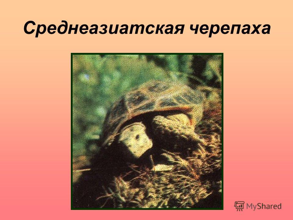 Среднеазиатская черепаха Среднеазиатская черепаха.