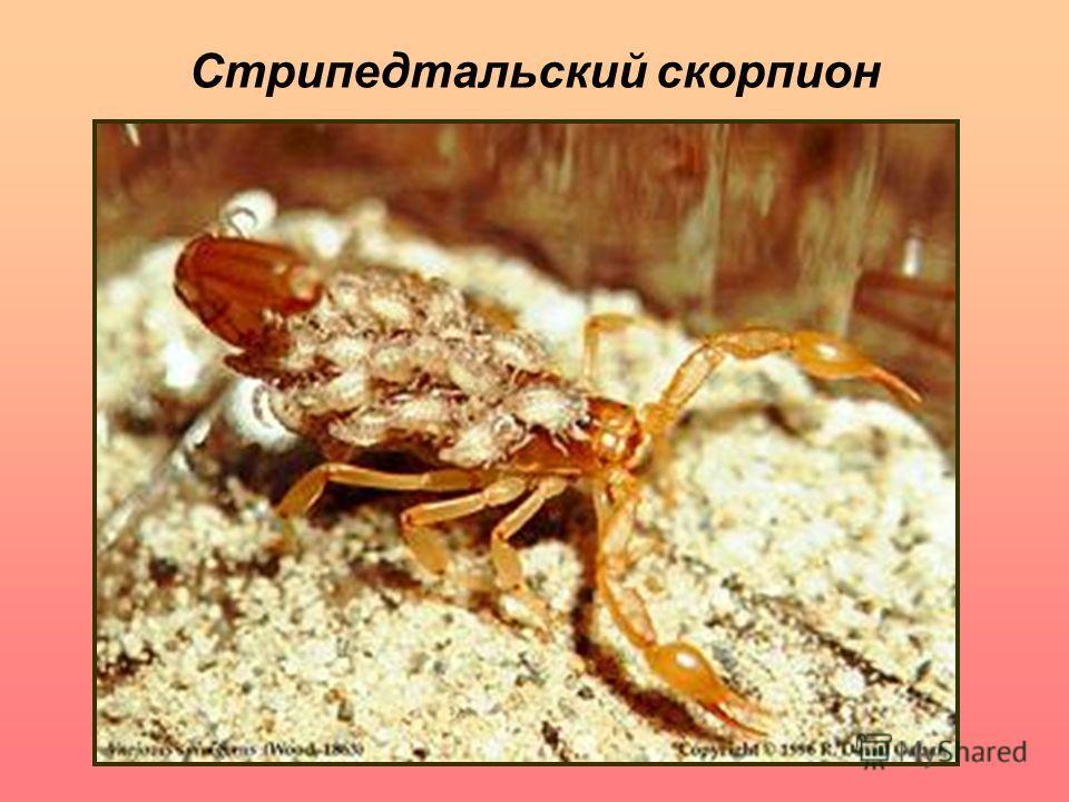 Стрипедтальский скорпион