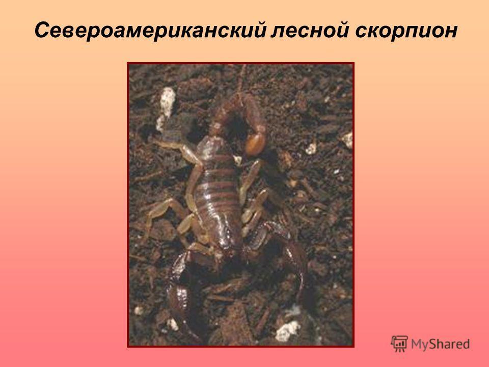 Североамериканский лесной скорпион