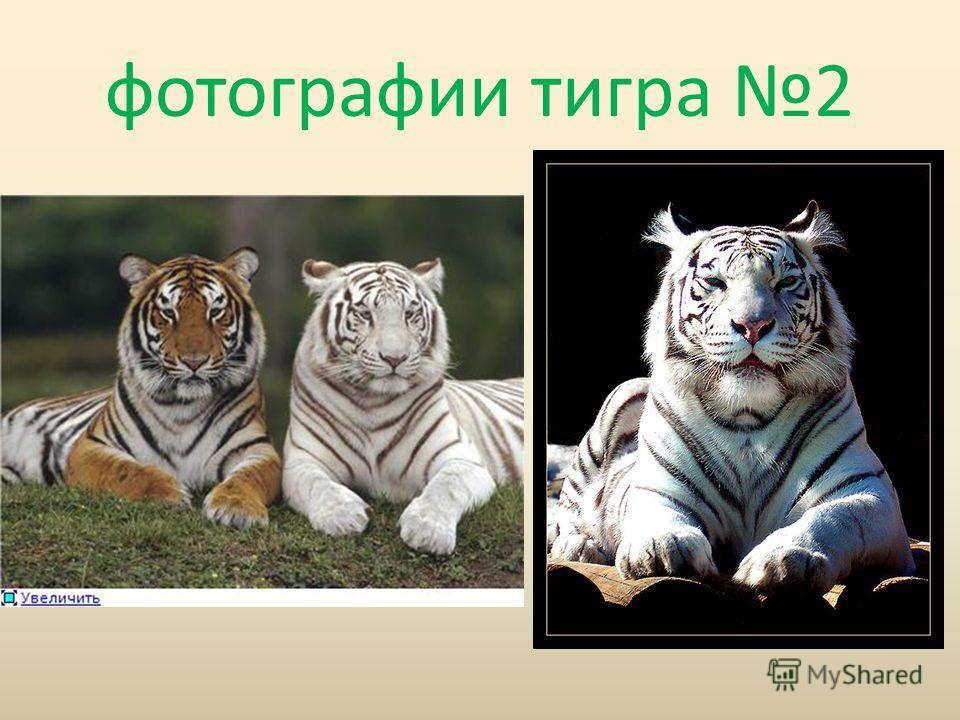 фотографии тигра 2