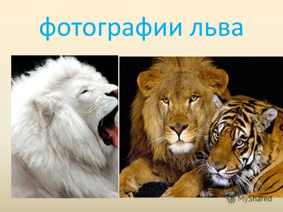 фотографии льва