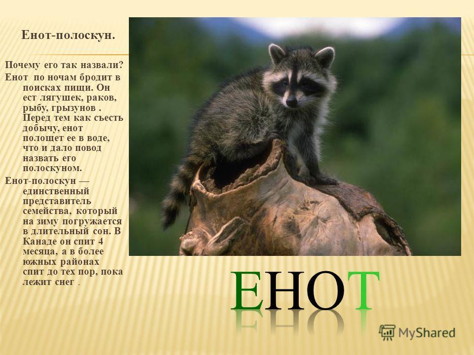 Енот-полоскун. Почему его так назвали? Енот по ночам бродит в поисках пищи. Он ест лягушек, раков, рыбу, грызунов. Перед тем как съесть добычу, енот полощет ее в воде, что и дало повод назвать его полоскуном. Енот-полоскун единственный представитель