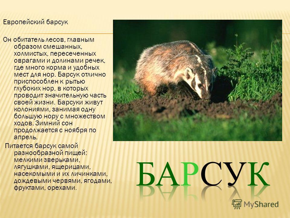 Европейский барсук Он обитатель лесов, главным образом смешанных, холмистых, пересеченных оврагами и долинами речек, где много корма и удобных мест для нор. Барсук отлично приспособлен к рытью глубоких нор, в которых проводит значительную часть своей