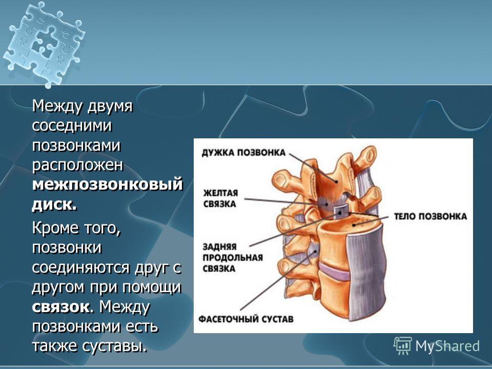 Между двумя соседними позвонками расположен межпозвонковый диск. Кроме того, позвонки соединяются друг с другом при помощи связок. Между позвонками есть также суставы.
