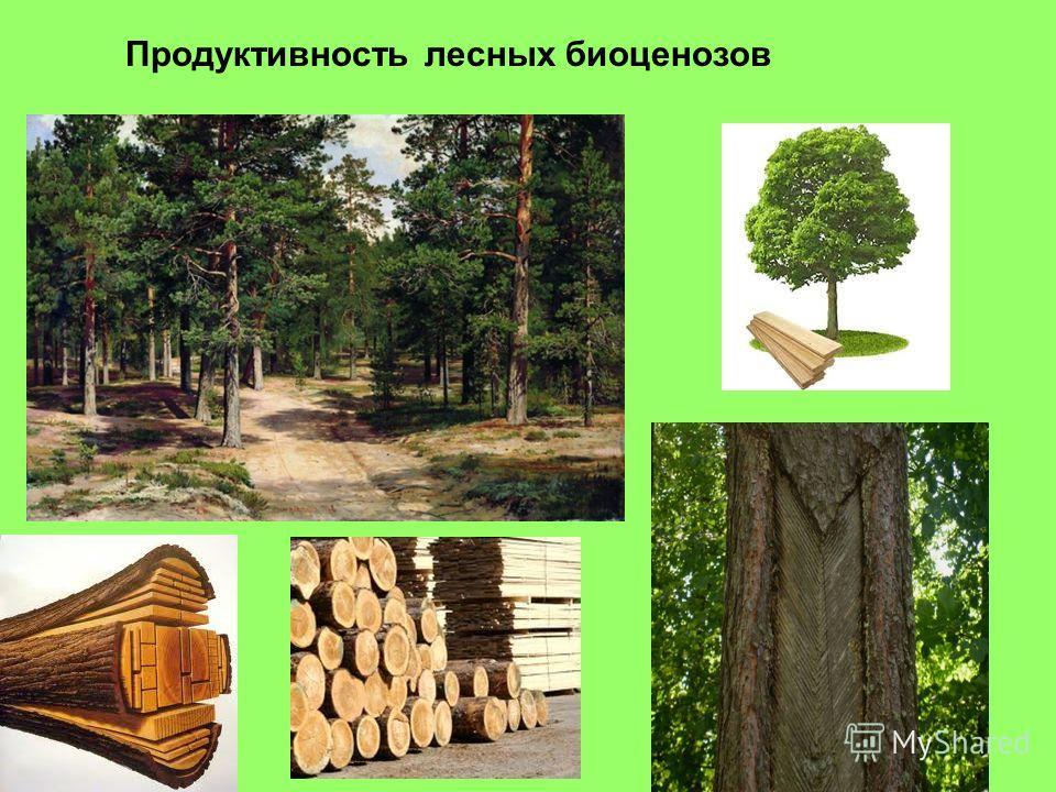 Продуктивность лесных биоценозов