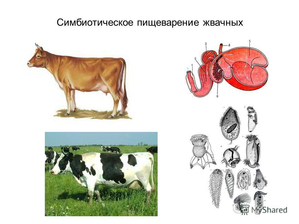 Симбиотическое пищеварение жвачных