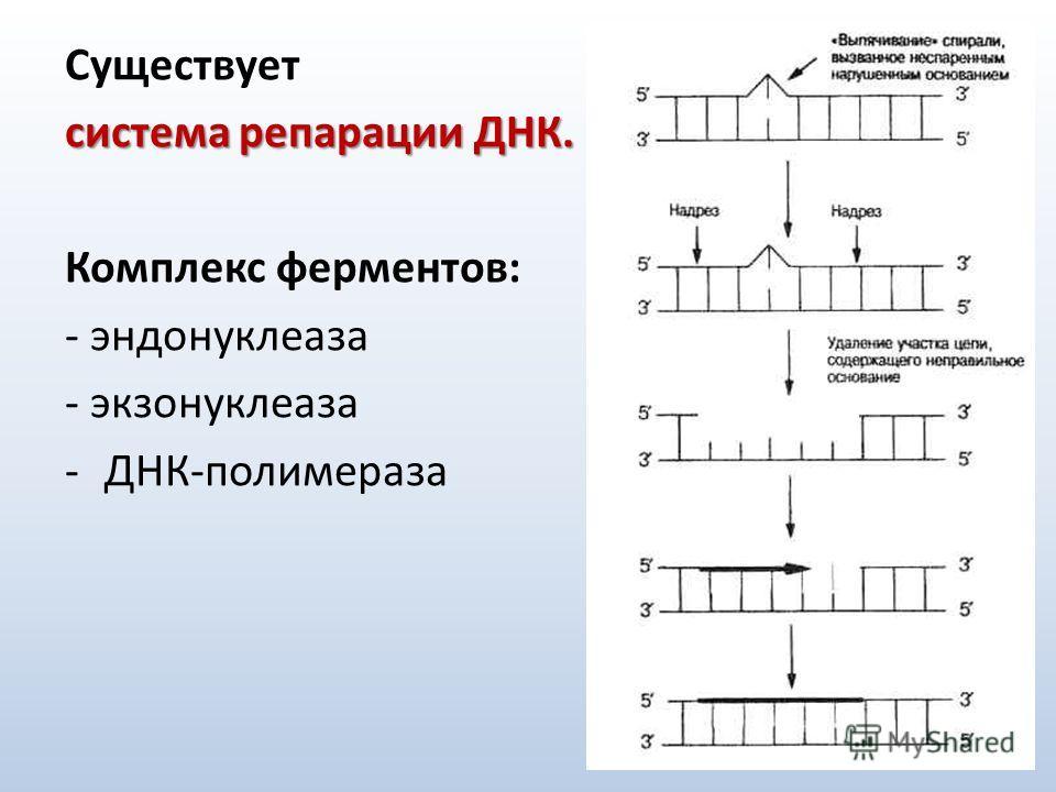 Существует система репарации ДНК. Комплекс ферментов: - эндонуклеаза - экзонуклеаза -ДНК-полимераза