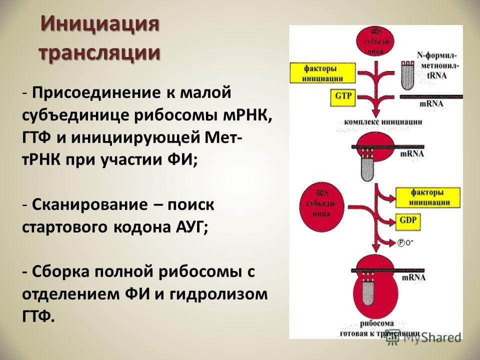 Инициация трансляции - Присоединение к малой субъединице рибосомы мРНК, ГТФ и инициирующей Мет- тРНК при участии ФИ; - Сканирование – поиск стартового кодона АУГ; - Сборка полной рибосомы с отделением ФИ и гидролизом ГТФ.