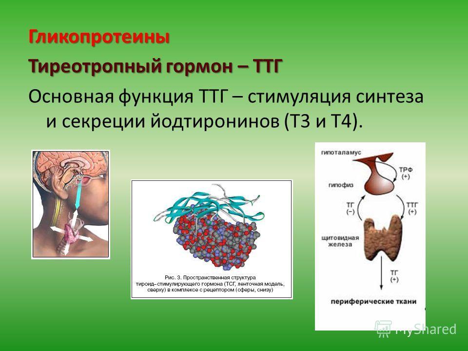 Гликопротеины Тиреотропный гормон – ТТГ Основная функция ТТГ – стимуляция синтеза и секреции йодтиронинов (Т3 и Т4).