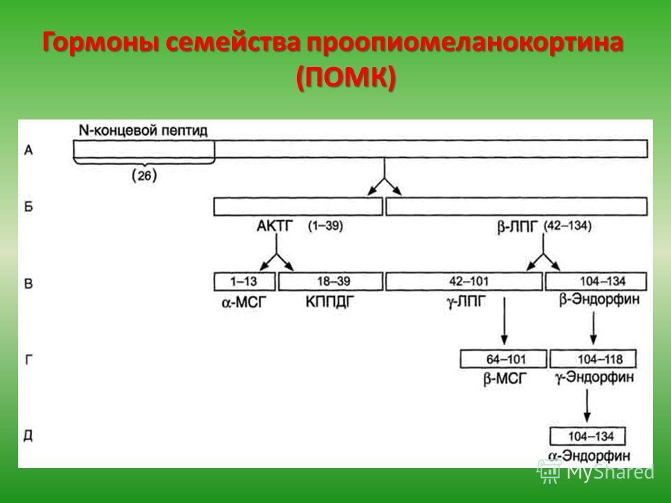 Гормоны семейства проопиомеланокортина (ПОМК)