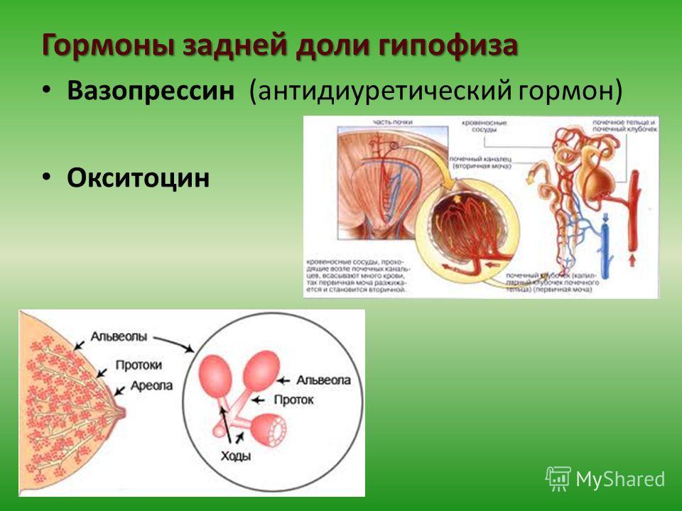 Гормоны задней доли гипофиза Вазопрессин (антидиуретический гормон) Окситоцин