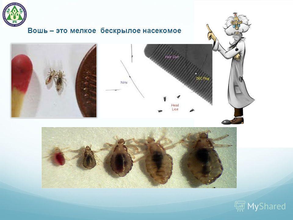 Вошь – это мелкое бескрылое насекомое