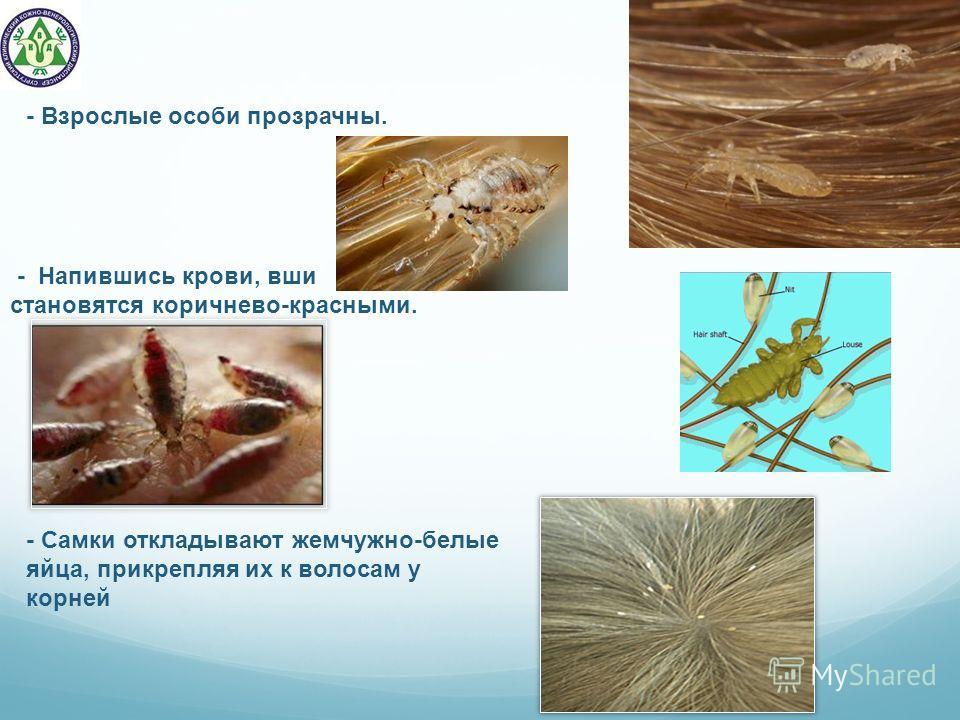 - Самки откладывают жемчужно-белые яйца, прикрепляя их к волосам у корней - Напившись крови, вши становятся коричнево-красными. - Взрослые особи прозрачны.