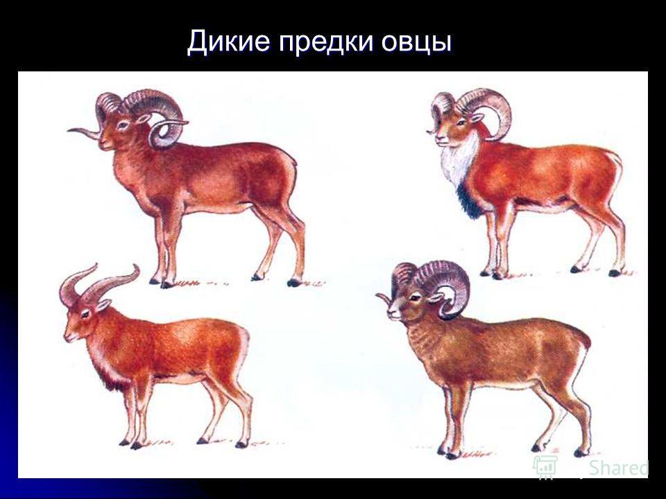 Дикие предки овцы