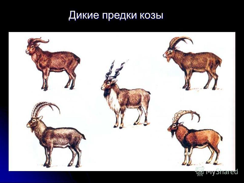 Дикие предки козы