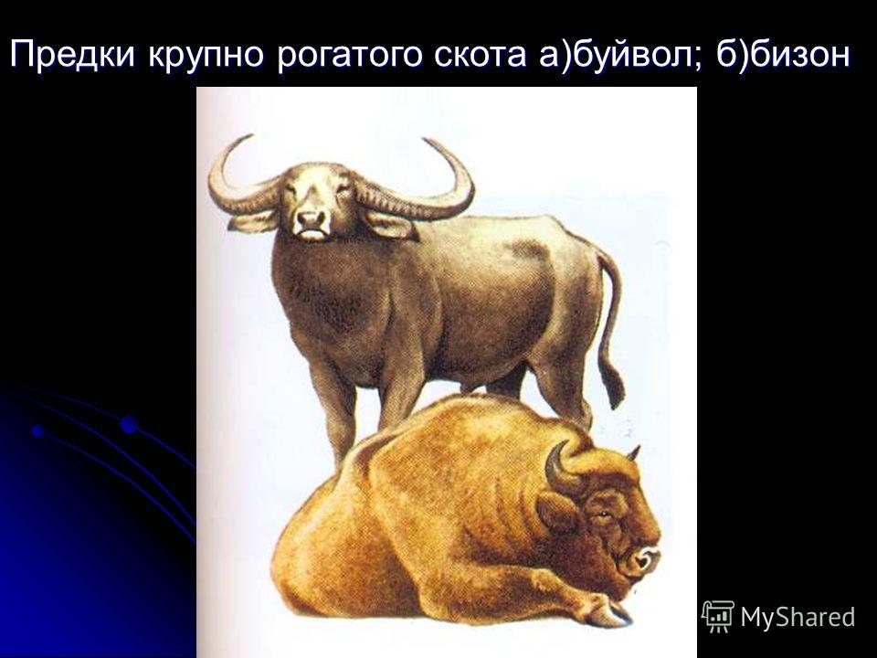 Предки крупно рогатого скота а)буйвол; б)бизон