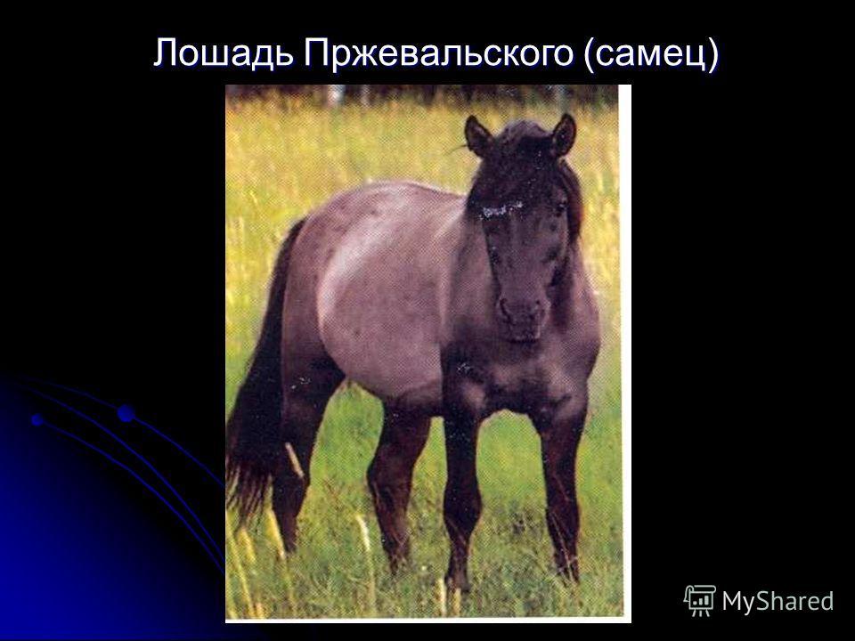 Лошадь Пржевальского (самец)