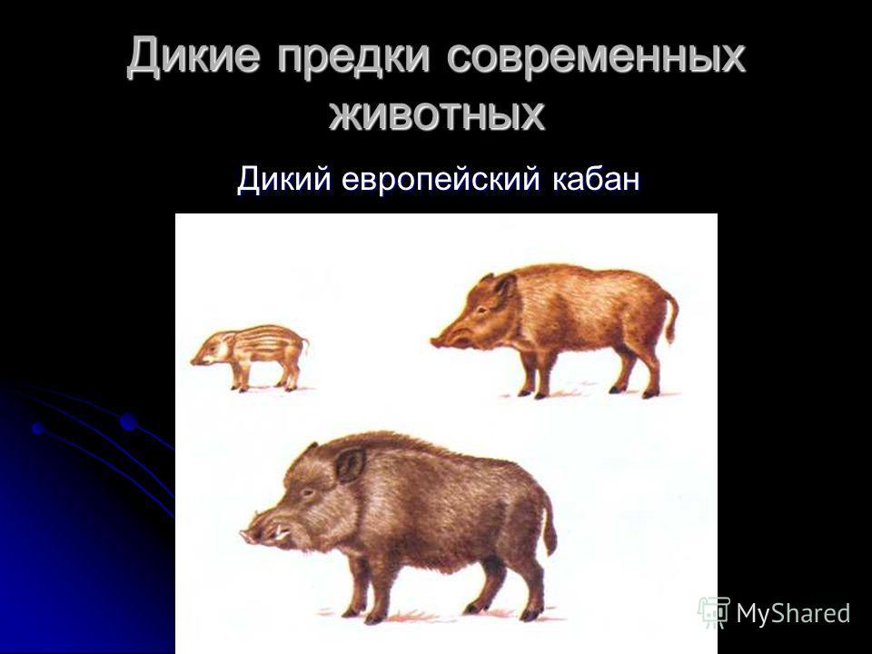 Дикие предки современных животных Дикий европейский кабан