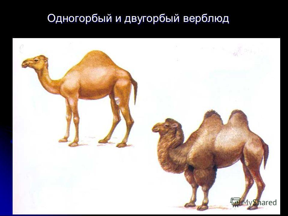 Одногорбый и двугорбый верблюд