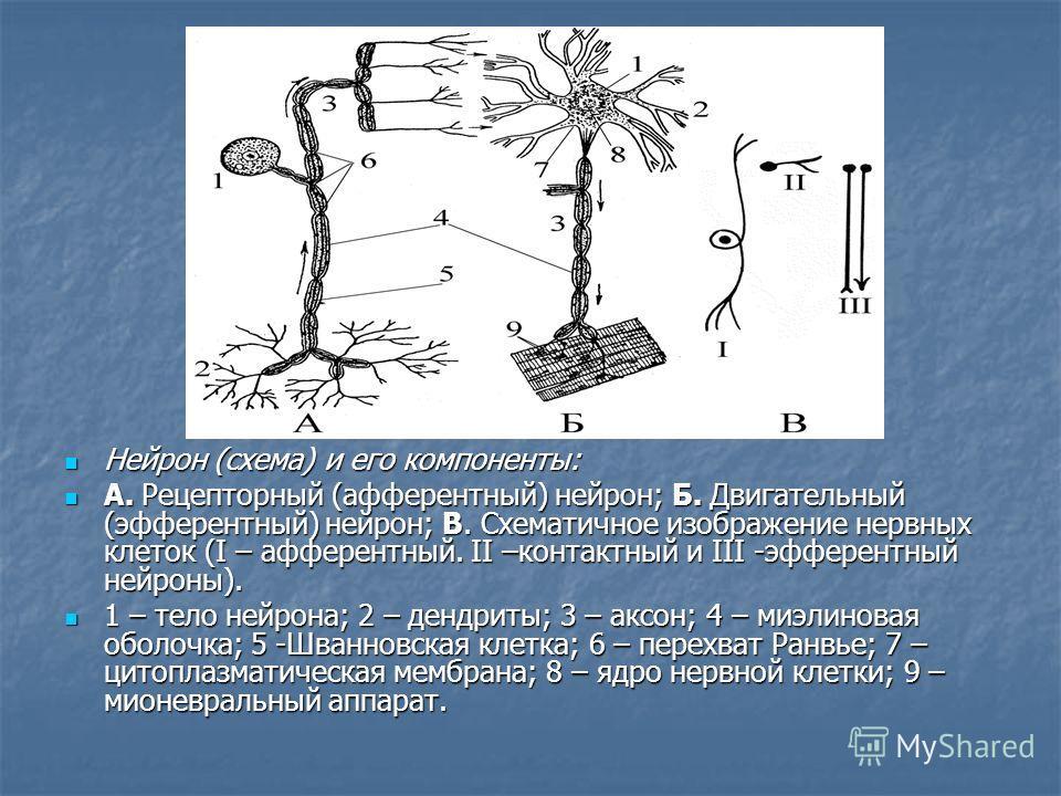 Нейрон (схема) и его компоненты: Нейрон (схема) и его компоненты: А. Рецепторный (афферентный) нейрон; Б. Двигательный (эфферентный) нейрон; В. Схематичное изображение нервных клеток (I – афферентный. II –контактный и III -эфферентный нейроны). А. Ре