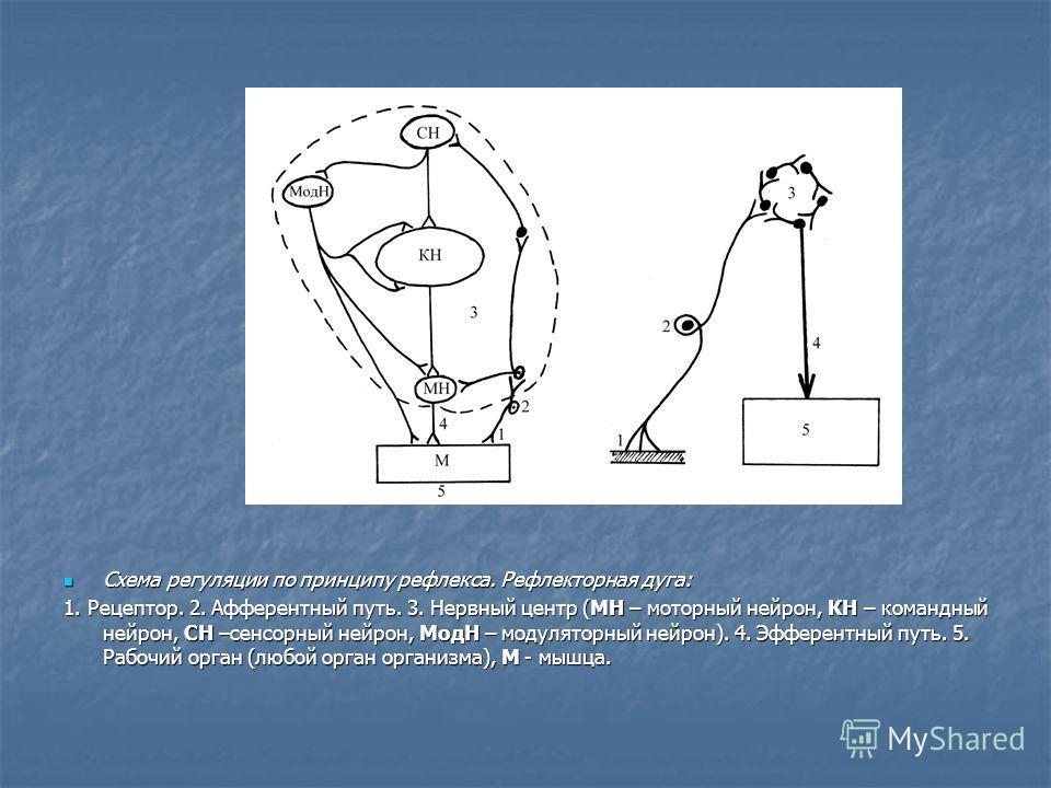 Схема регуляции по принципу рефлекса. Рефлекторная дуга: Схема регуляции по принципу рефлекса. Рефлекторная дуга: 1. Рецептор. 2. Афферентный путь. 3. Нервный центр (МН – моторный нейрон, КН – командный нейрон, СН –сенсорный нейрон, МодН – модуляторн