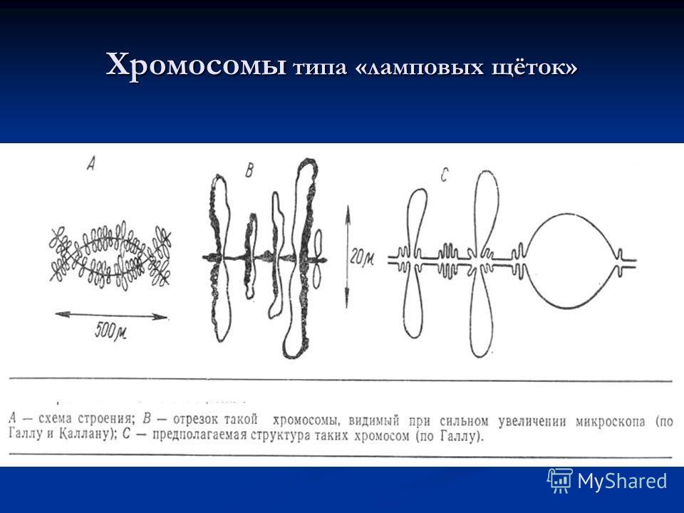 Хромосомы типа «ламповых щёток»