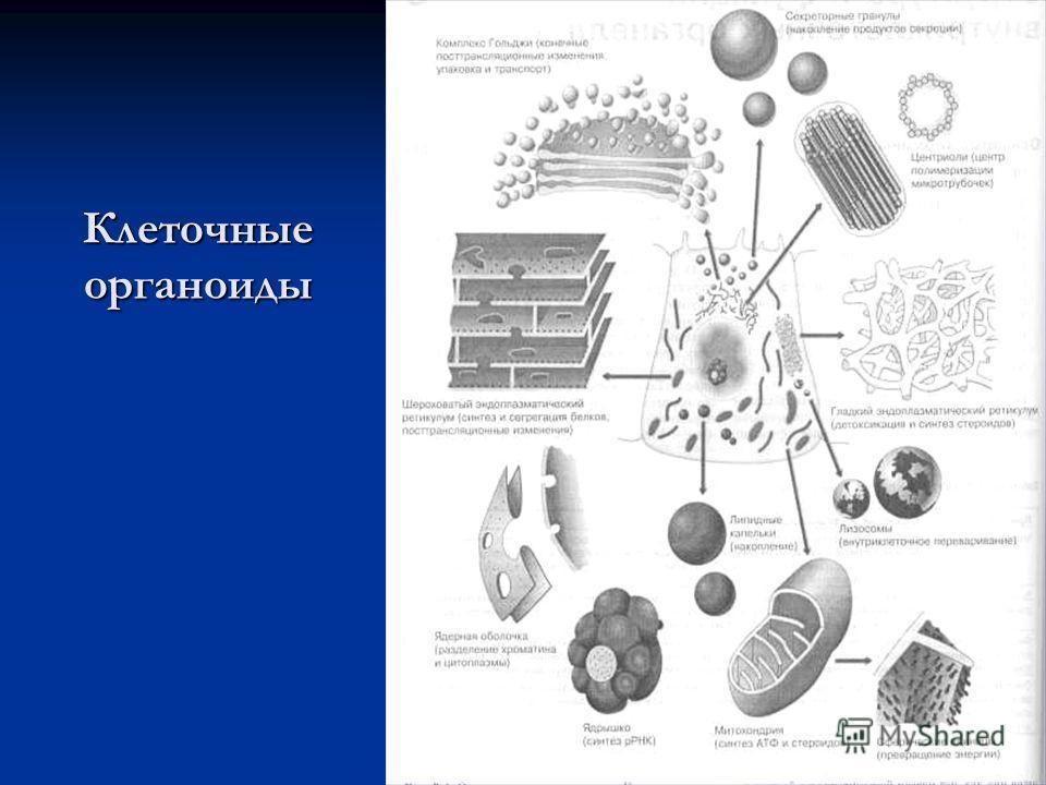 Клеточные органоиды