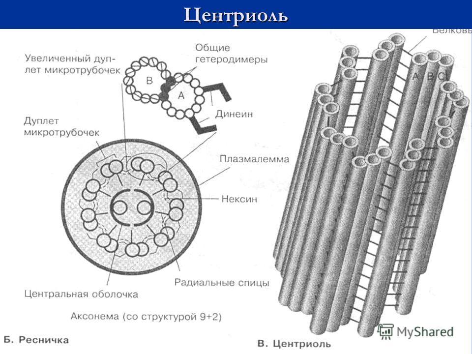 Центриоль