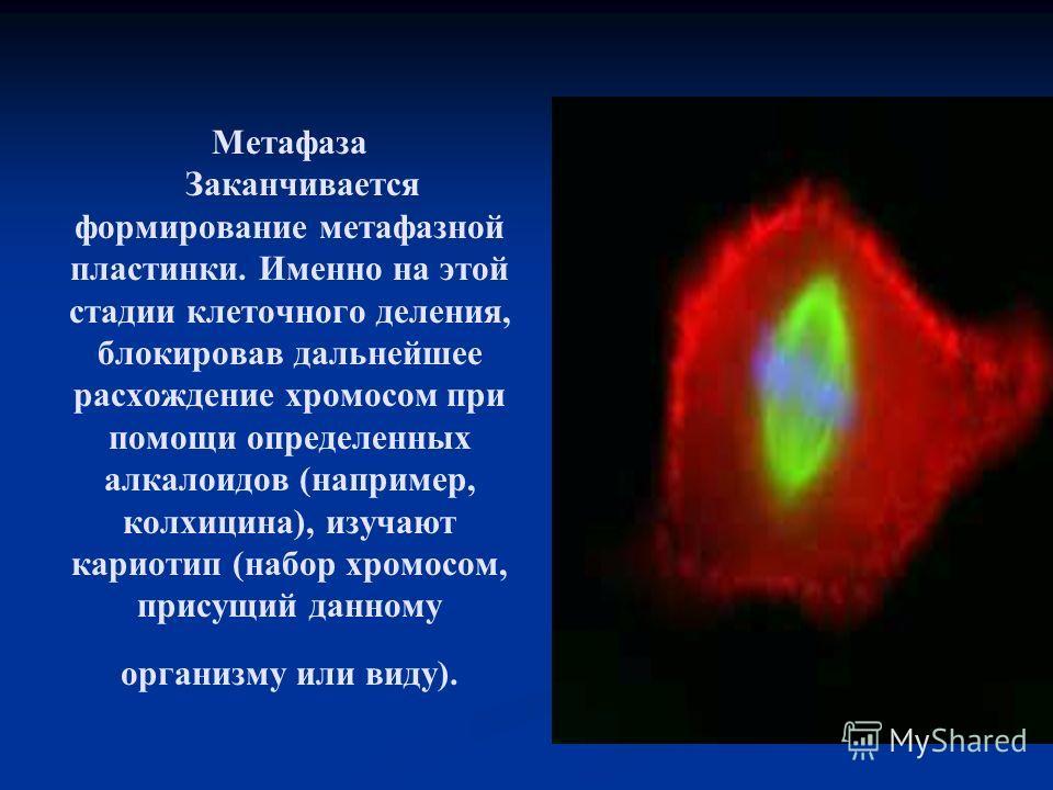 Метафаза Заканчивается формирование метафазной пластинки. Именно на этой стадии клеточного деления, блокировав дальнейшее расхождение хромосом при помощи определенных алкалоидов (например, колхицина), изучают кариотип (набор хромосом, присущий данном