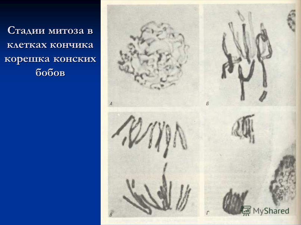 Стадии митоза в клетках кончика корешка конских бобов
