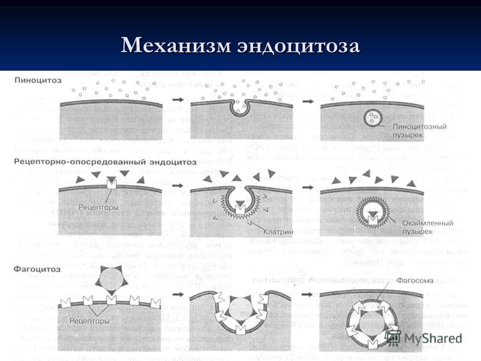 Механизм эндоцитоза