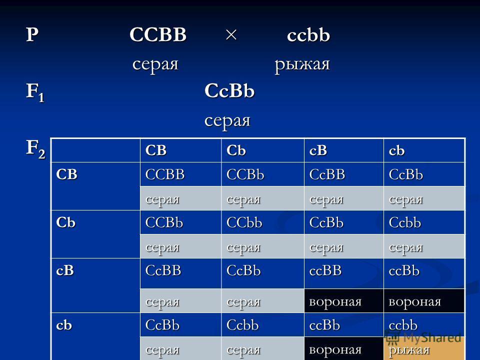 P CCBB × ccbb серая рыжая серая рыжая F 1 CcBb серая серая F 2 СBСBСBСB СbСbСbСb сBсBсBсB сbсbсbсb СBСBСBСB ССBB ССBb СсBB СсBb сераясераясераясерая СbСbСbСb ССBb ССbb СсBb Ссbb сераясераясераясерая сBсBсBсB СсBB СсBb ссBB ссBb сераясераяворонаяворон