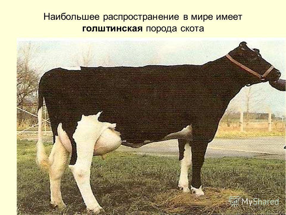 Наибольшее распространение в мире имеет голштинская порода скота