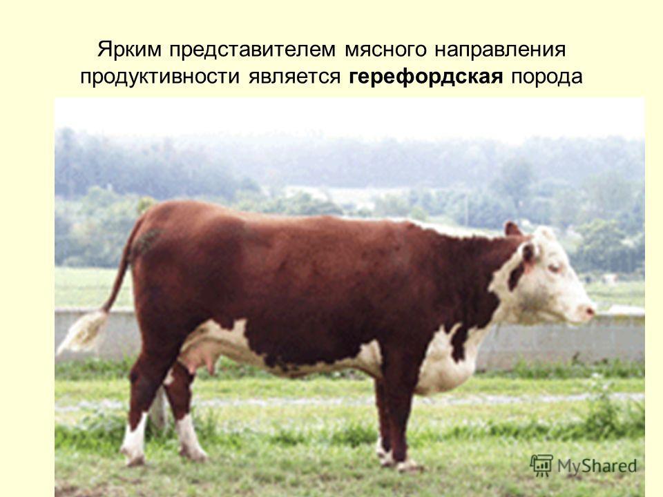 Ярким представителем мясного направления продуктивности является герефордская порода