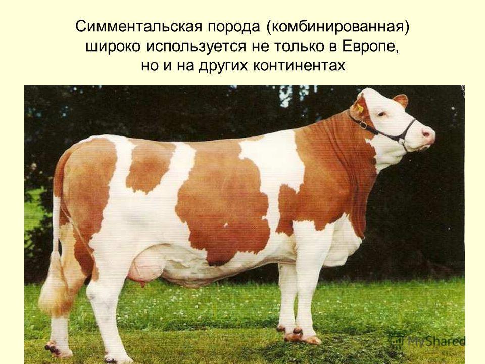 Симментальская порода (комбинированная) широко используется не только в Европе, но и на других континентах