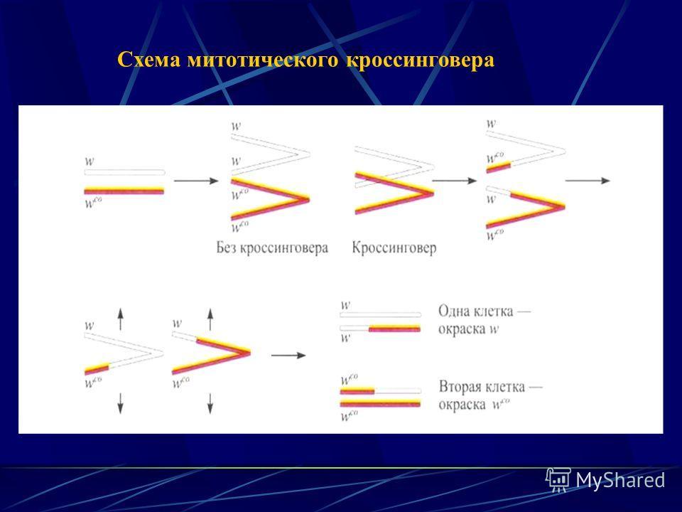 Схема митотического кроссинговера