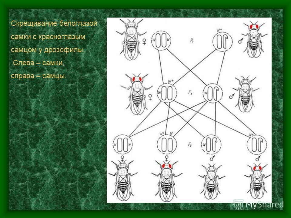 Скрещивание красноглазой самки с белоглазым самцом у дрозофилы. Слева – самки, справа – самцы.