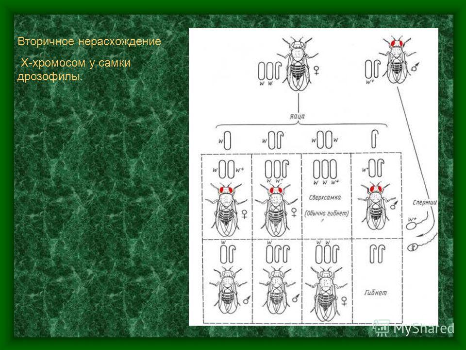 Первичное нерасхождение Х- хромосом у Drosophila melanogaster. В левой части рисунка для сравнения изображены результаты правильного расхождения.