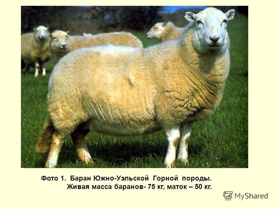 Фото 1. Баран Южно-Уэльской Горной породы. Живая масса баранов- 75 кг, маток – 50 кг.