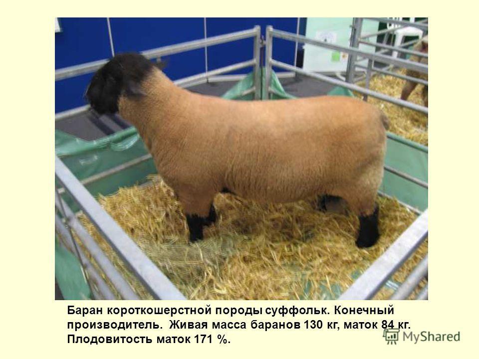 Баран короткошерстной породы суффольк. Конечный производитель. Живая масса баранов 130 кг, маток 84 кг. Плодовитость маток 171 %.