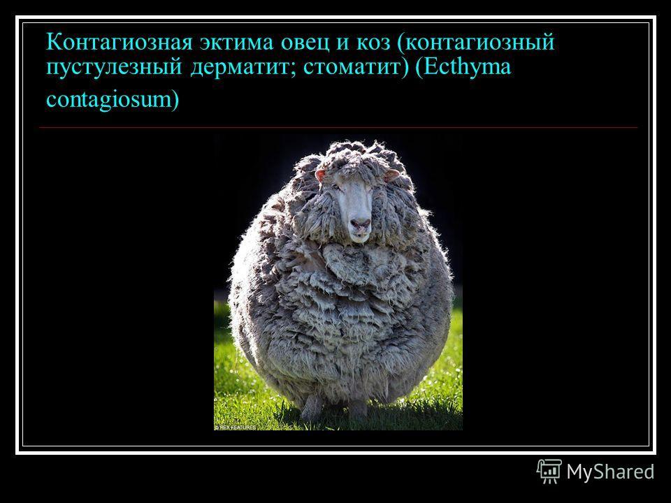 Контагиозная эктима овец и коз (контагиозный пустулезный дерматит; стоматит) (Ecthyma contagiosum)