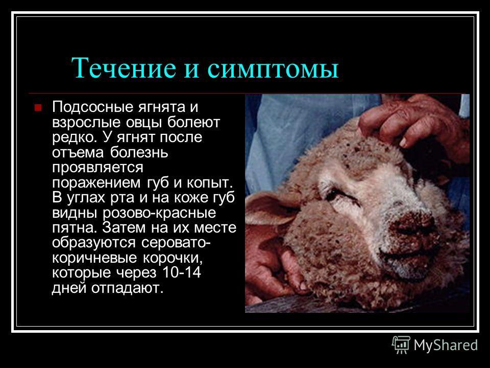 Течение и симптомы Подсосные ягнята и взрослые овцы болеют редко. У ягнят после отъема болезнь проявляется поражением губ и копыт. В углах рта и на коже губ видны розово-красные пятна. Затем на их месте образуются серовато- коричневые корочки, которы
