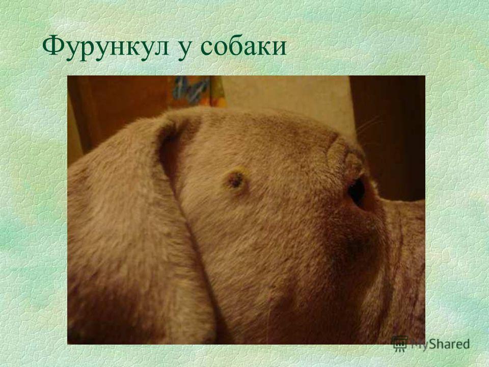 Фурункул у собаки