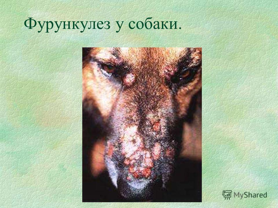 Фурункулез у собаки.