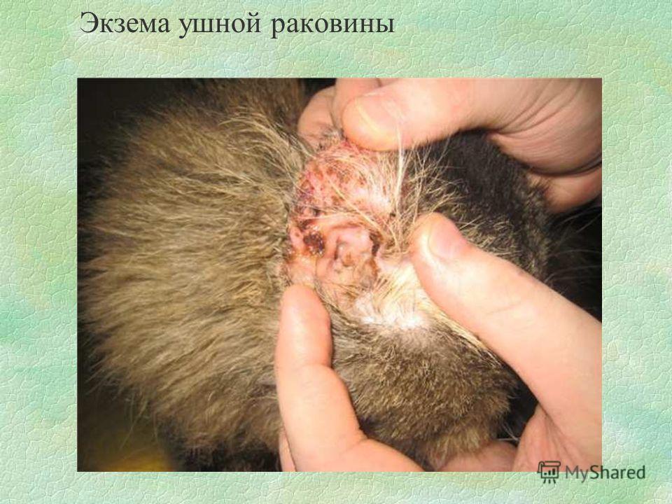 Экзема ушной раковины