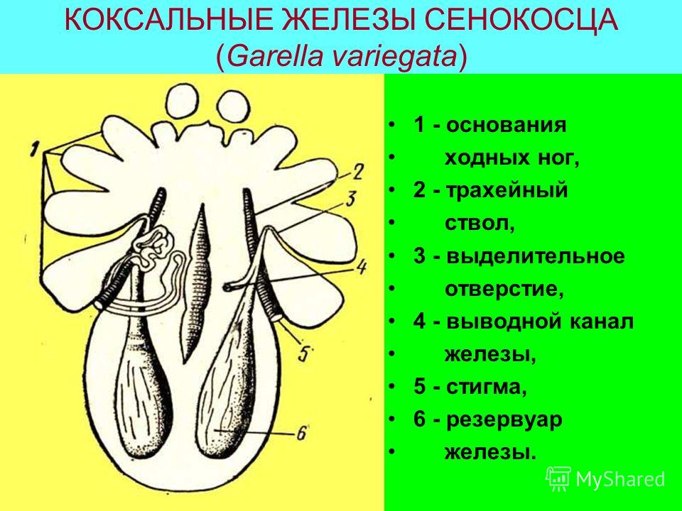 КОКСАЛЬНЫЕ ЖЕЛЕЗЫ СЕНОКОСЦА (Garella variegata) 1 - основания ходных ног, 2 - трахейный ствол, 3 - выделительное отверстие, 4 - выводной канал железы, 5 - стигма, 6 - резервуар железы.