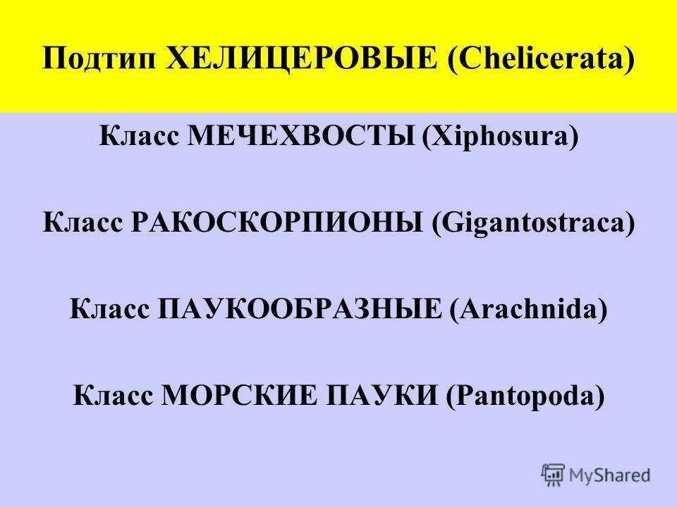 Подтип ХЕЛИЦЕРОВЫЕ (Chelicerata) Класс МЕЧЕХВОСТЫ (Xiphosura) Класс РАКОСКОРПИОНЫ (Gigantostraca) Класс ПАУКООБРАЗНЫЕ (Arachnida) Класс МОРСКИЕ ПАУКИ (Pantopoda)