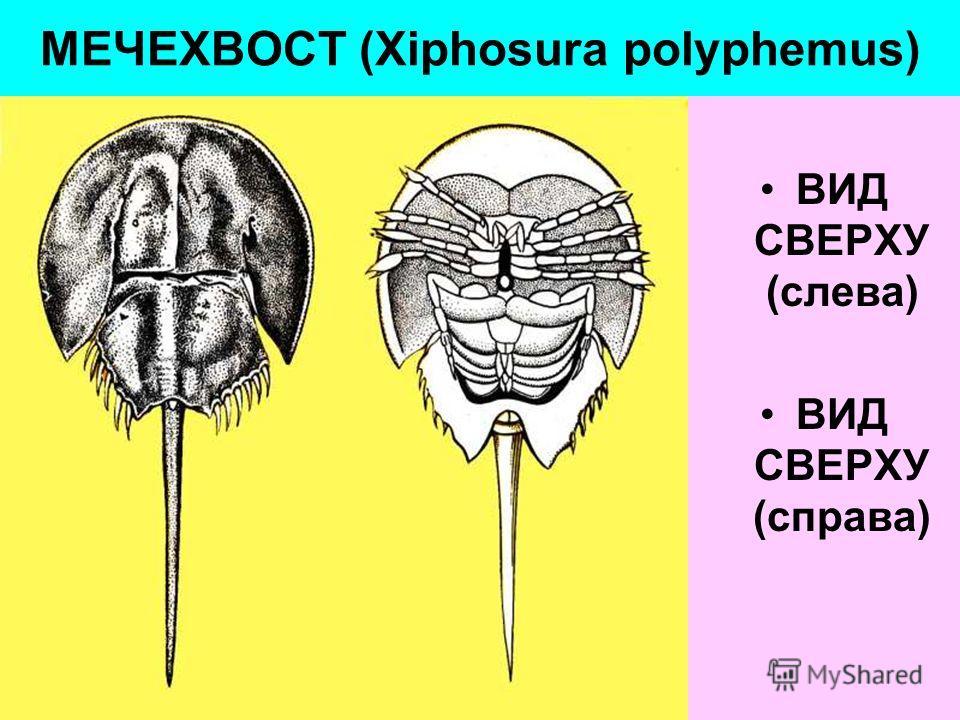 МЕЧЕХВОСТ (Xiphosura polyphemus) ВИД СВЕРХУ (слева) ВИД СВЕРХУ (справа)